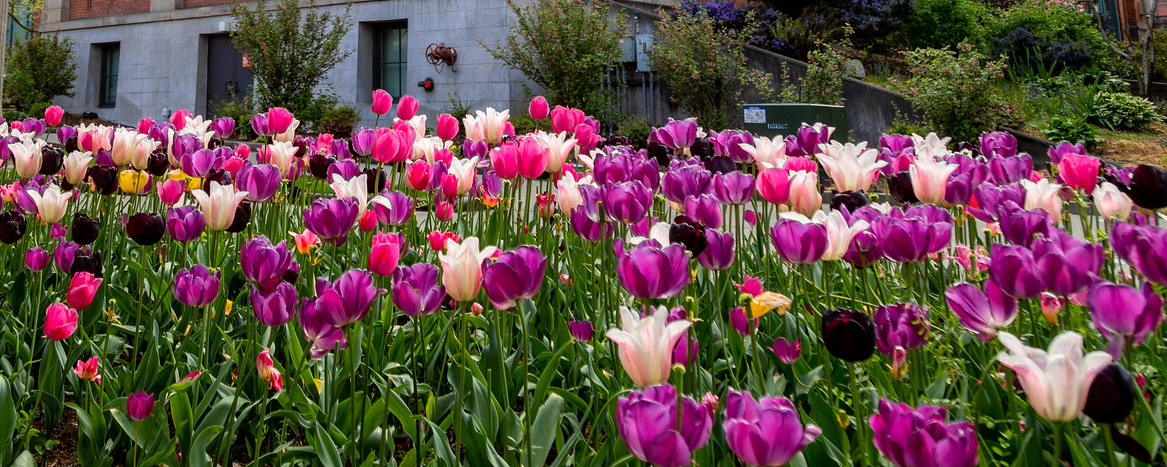 Photo of tulips on campus