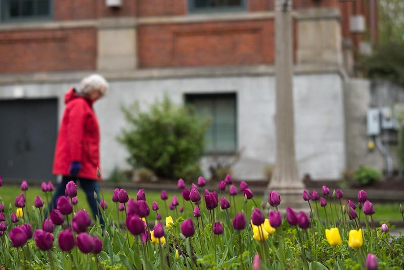Tulips on campu