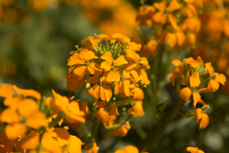 Picture of a native plant on campus called Rough Wallflower