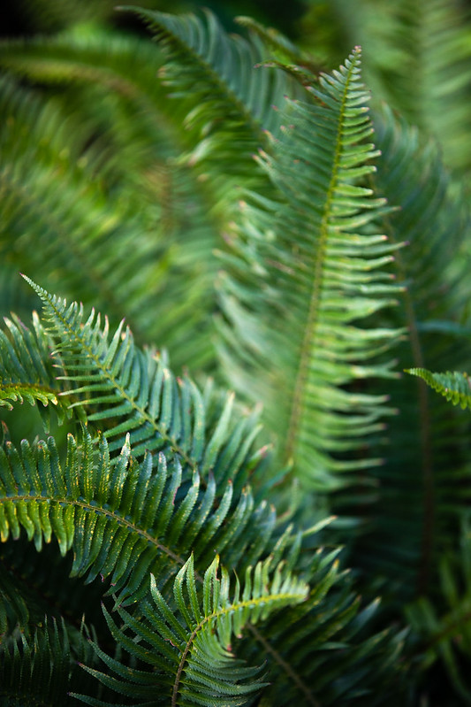 Picture of a native fern on campus