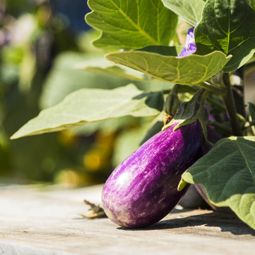 A purple eggplant growing out of a raised bed.