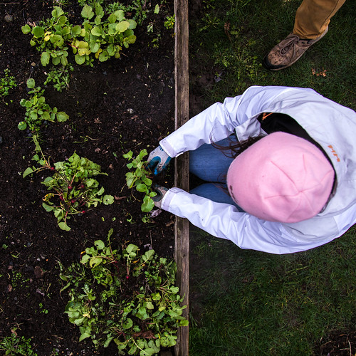 A student harvest radishes out of a raised bed.