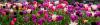 UW Tacoma Spring Tulips